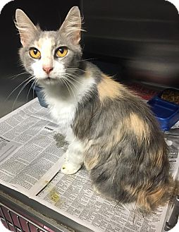 Maine Coon Cat for adoption in Chattanooga, Tennessee - Laurel