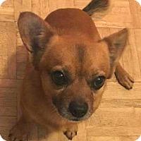 Adopt A Pet :: Lazlo - Andalusia, PA