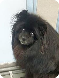 Pomeranian Mix Dog for adoption in Spokane, Washington - Beaver