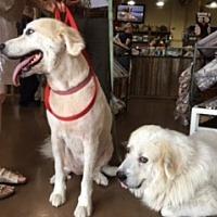 Adopt A Pet :: Tova - Kyle, TX