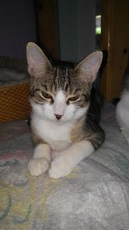 Domestic Shorthair/Domestic Shorthair Mix Cat for adoption in Englewood, Florida - Simon