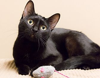 Domestic Shorthair Cat for adoption in Chicago, Illinois - Chipper