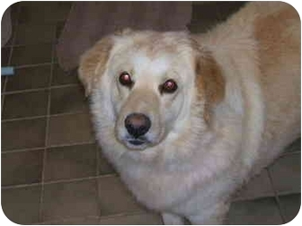 Golden Retriever/Great Pyrenees Mix Dog for adoption in Powell, Ohio - Boomer