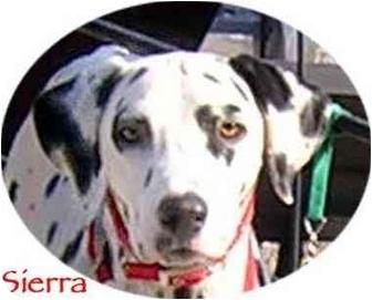 Dalmatian Dog for adoption in Mandeville Canyon, California - Sierra