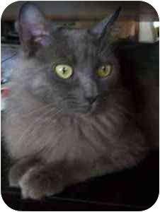 Persian Cat for adoption in Beverly Hills, California - Penelope