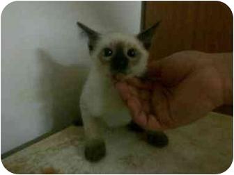 Siamese Kitten for adoption in Pembroke pInes, Florida - Sasha