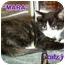 Photo 2 - Calico Kitten for adoption in Cedar Creek, Texas - Mara
