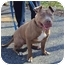 Photo 2 - American Staffordshire Terrier Dog for adoption in West Warwick, Rhode Island - Emily