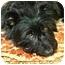 Photo 1 - Scottie, Scottish Terrier/Schnauzer (Standard) Mix Dog for adoption in Vista, California - Waldo