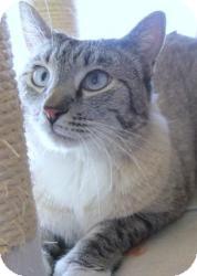 Siamese Cat for adoption in Prescott, Arizona - Ghost