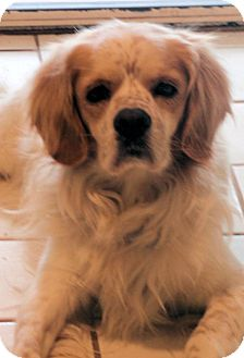 Cocker Spaniel Dog for adoption in Sugarland, Texas - Maxwell