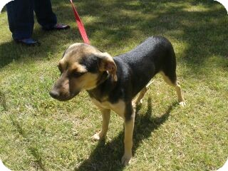 Chihuahua/Miniature Pinscher Mix Puppy for adoption in Chandler, Arizona - Ruger