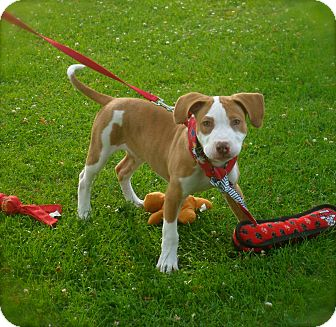 Bull Terrier/American Staffordshire Terrier Mix Puppy for adoption in Burbank, California - Adorable Theo - VIDEO