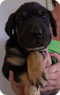 Shar Pei/German Shepherd Dog Mix Puppy for adoption in Corona, California - GAVIN