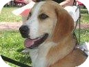 Hound (Unknown Type)/Treeing Walker Coonhound Mix Puppy for adoption in Lancaster, South Carolina - Crystal