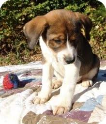 Golden Retriever/Labrador Retriever Mix Puppy for adoption in Allentown, Pennsylvania - Hans
