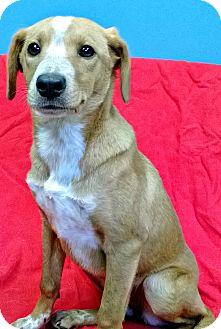 Beagle/Terrier (Unknown Type, Medium) Mix Puppy for adoption in Staunton, Virginia - Sadie