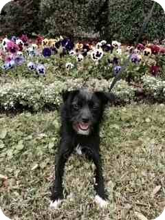 Terrier (Unknown Type, Small) Mix Dog for adoption in Houston, Texas - Coconut