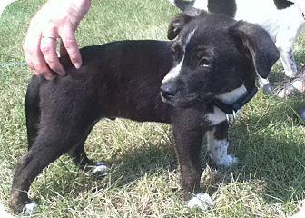 Shepherd (Unknown Type)/Labrador Retriever Mix Puppy for adoption in Ionia, Michigan - Felix