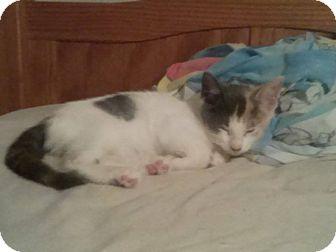 Domestic Shorthair Kitten for adoption in Miami, Florida - Cleo