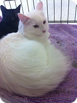 Turkish Angora Cat for adoption in Riverside, California - Angel