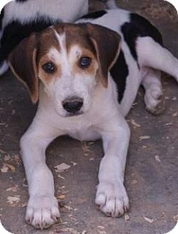 Hound (Unknown Type) Mix Puppy for adoption in Londonderry, New Hampshire - Arrow