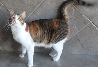 Domestic Shorthair Cat for adoption in Seguin, Texas - Penny