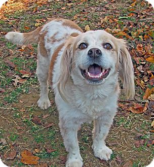Cocker Spaniel Mix Dog for adoption in Allentown, Pennsylvania - Kayci