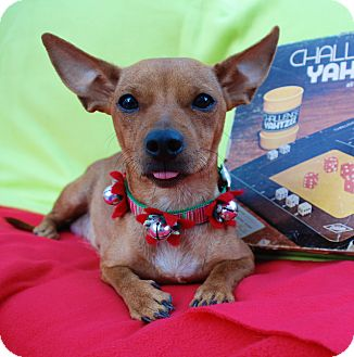 Dachshund/Chihuahua Mix Dog for adoption in Irvine, California - Yahtzee
