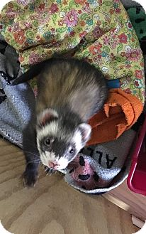 Ferret for adoption in Fawn Grove, Pennsylvania - Bubby