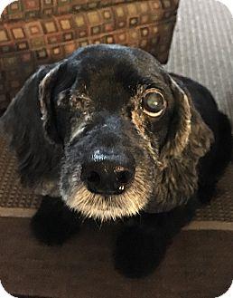 Cocker Spaniel Dog for adoption in Philadelphia, Pennsylvania - SIRIUS!