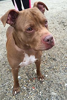 Pit Bull Terrier Mix Dog for adoption in Manchester, New Hampshire - Hanzel