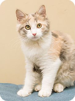 Domestic Longhair Cat for adoption in Chicago, Illinois - Calypso