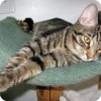 Domestic Shorthair Cat for adoption in Powell, Ohio - Emery