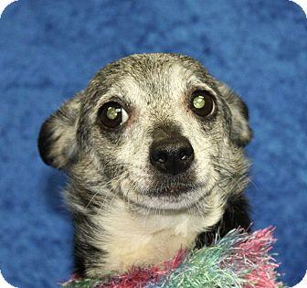 Chihuahua Mix Dog for adoption in Jackson, Michigan - Daphne