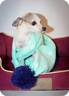 Chihuahua Mix Dog for adoption in Kingston, Tennessee - Poncho