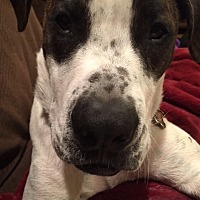 American Staffordshire Terrier/Boxer Mix Dog for adoption in Santa Monica, California - Max