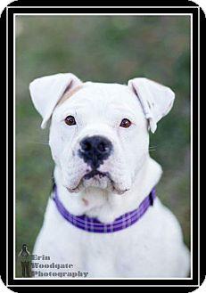 American Bulldog/Boxer Mix Dog for adoption in Duart, Ontario - Keeton