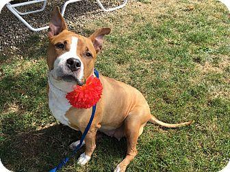 American Staffordshire Terrier/American Bulldog Mix Dog for adoption in Avon, Ohio - Bessie