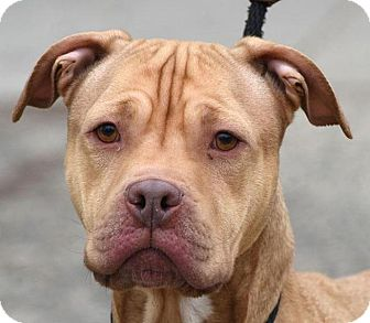 Labrador Retriever/American Pit Bull Terrier Mix Dog for adoption in New Haven, Connecticut - SCOOBY