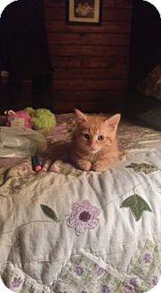 Domestic Shorthair Kitten for adoption in Toronto, Ontario - Valentine