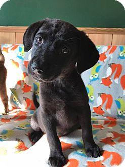 Labrador Retriever/Catahoula Leopard Dog Mix Puppy for adoption in Maryville, Missouri - Annie
