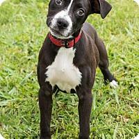 Adopt A Pet :: Georgia O'Keeffe - Alpharetta, GA