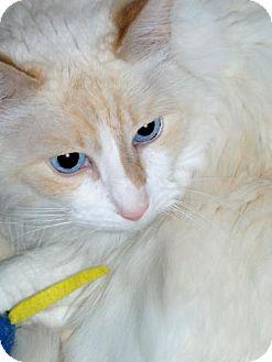 Domestic Mediumhair Cat for adoption in Antioch, California - Kasper