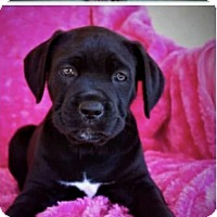Adopt A Pet :: Telsa f Corso puppy 2 - Goodyear, AZ