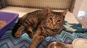 Domestic Shorthair/Domestic Shorthair Mix Cat for adoption in New Freedom, Pennsylvania - Gabriel