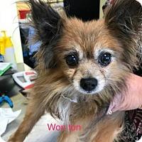 Adopt A Pet :: Won-Ton - Chico, CA
