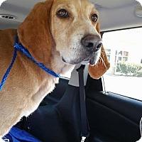 Adopt A Pet :: Red Shelton - Tampa, FL