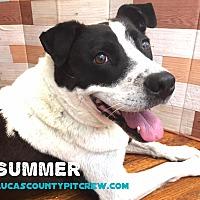 Adopt A Pet :: Summer - Toledo, OH