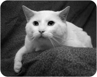 Domestic Shorthair Cat for adoption in Port Hope, Ontario - Stormy